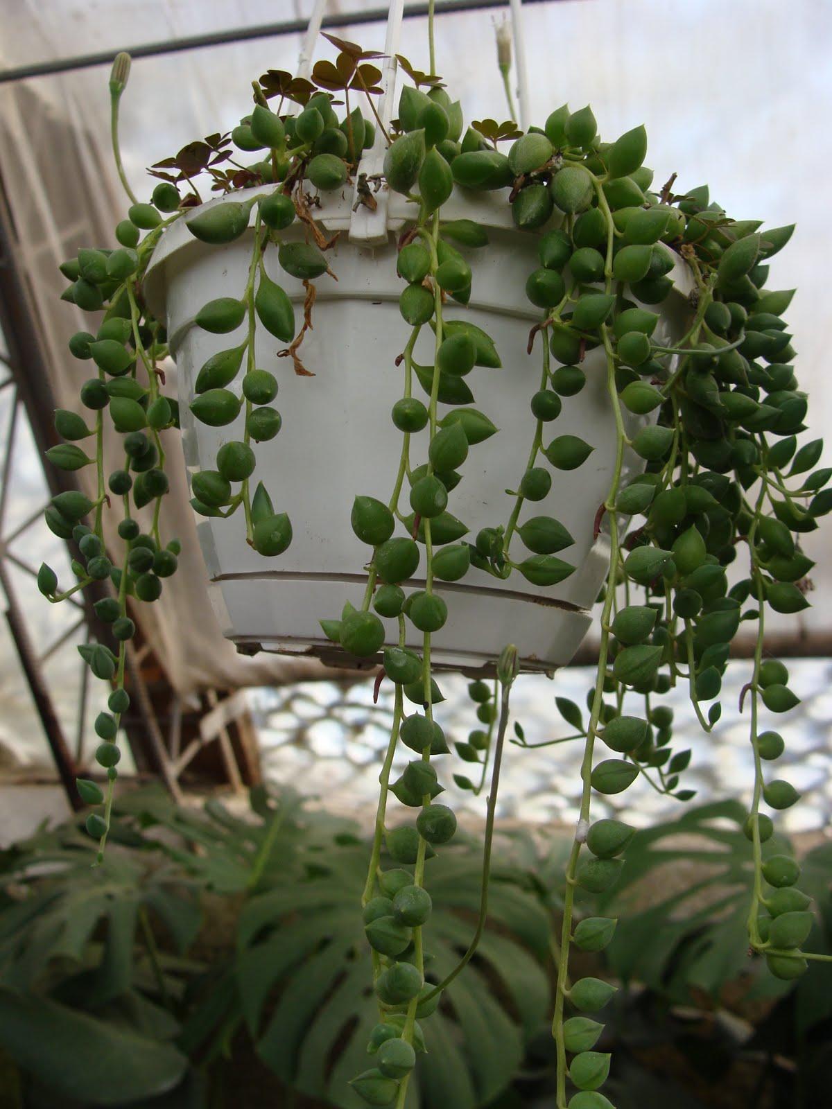 Свисающие Комнатные Растения. Название И Фото