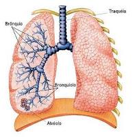 pulmão - anatomia