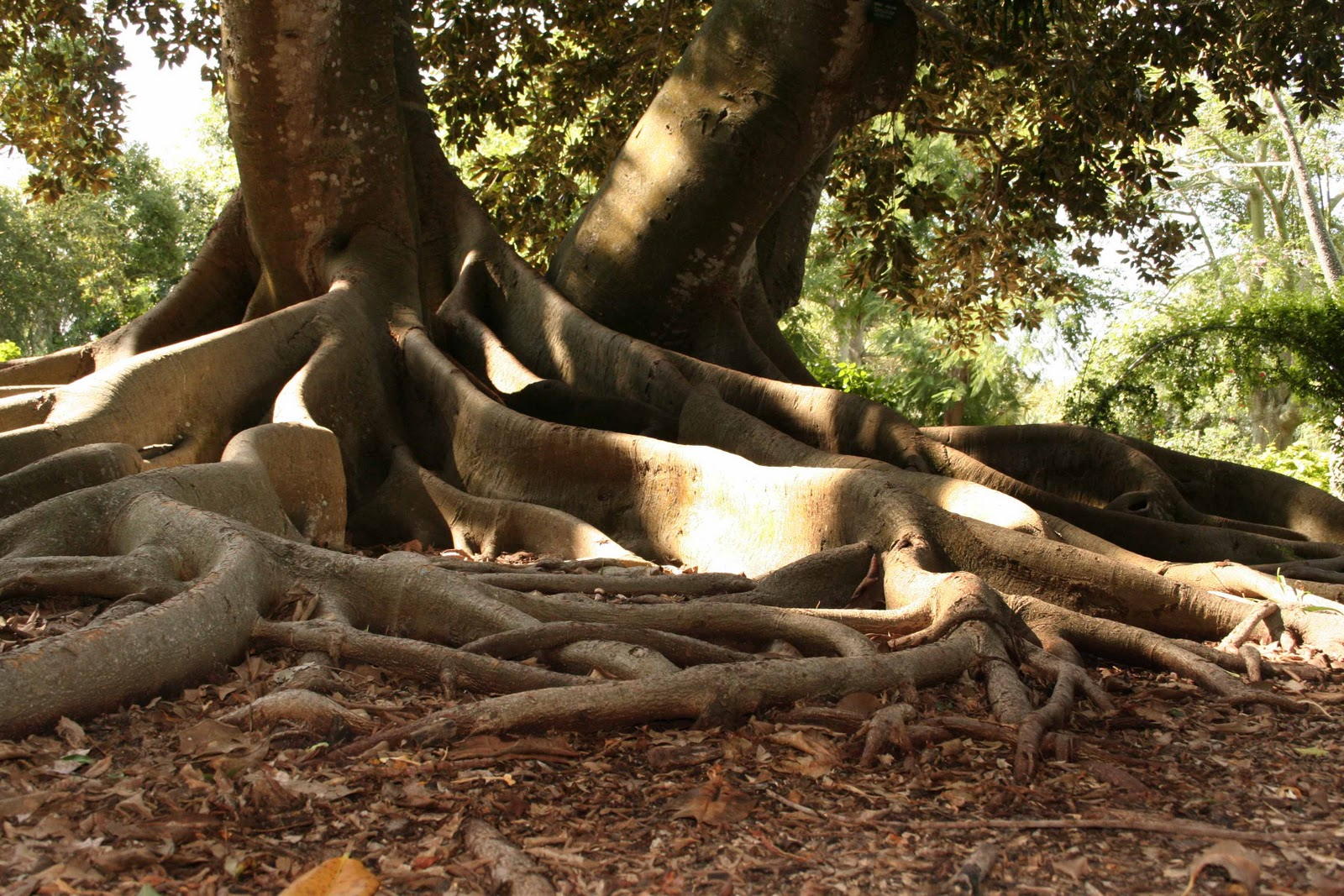 Mad Snapper: Amazing Trees out there (strangler figs and ...