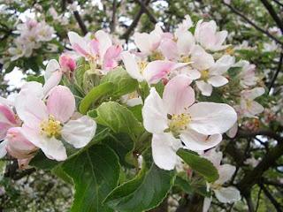 Święto kwitnącej jabłoni w Łącku