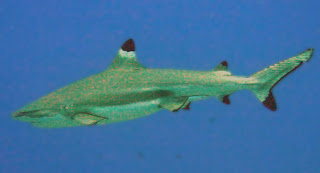 Female sharks asexual reproduction in bacteria