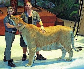 tigon Animais incríveis   Curiosidades