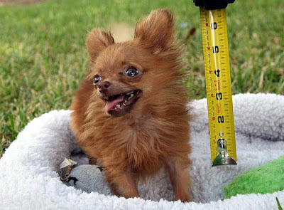 smallest dog O menor cachorro do mundo   Curiosidades