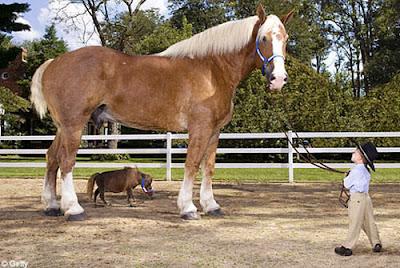 tallestsmallesthorse O maior cavalo do mundo   e o menor   Curiosidades