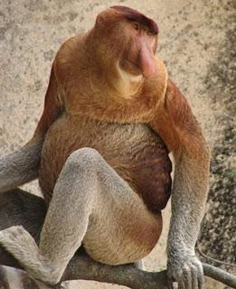 proboscis monkey Os animais mais estranhos e esquisitos do mundo   Curiosidades