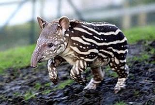 tapir baby Os animais mais estranhos e esquisitos do mundo