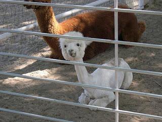 alpaca Os animais mais estranhos e esquisitos do mundo