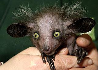 aye aye Os animais mais estranhos e esquisitos do mundo   Curiosidades