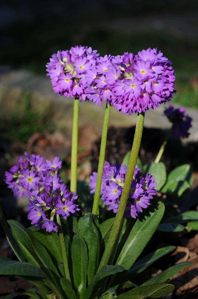 3 Way Refrigerator >> Growing with plants: Primula denticulata -The Drumstick ...