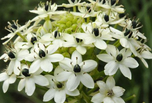 Growing With Plants Ornithogalum Saundersiae