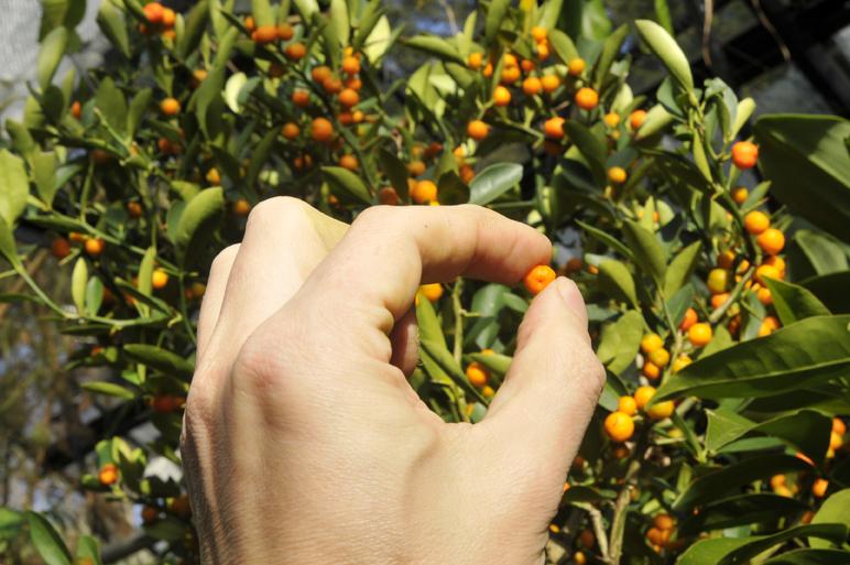 Bilderesultat for kumquat
