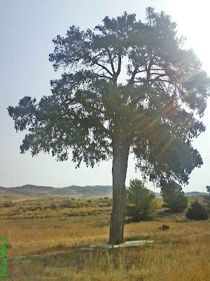 Sabina de Villamayor Zaragoza Sabina Albar (Juniperus thurifera )