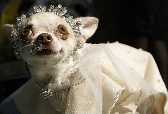 Chihuahua Fashion