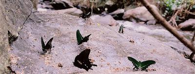 Colourful butterflies at Brahmagiri wildlife sanctuary, Virajpete taluk, Kodagu (Coorg) District, Karnataka state