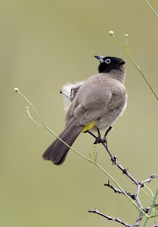 On The Fourth Day Of Christmas My True Love Sent To Me Four Bulbuls Three Gheckos Two Desert Dogs And A Hoopoe Beneath Palm Tree