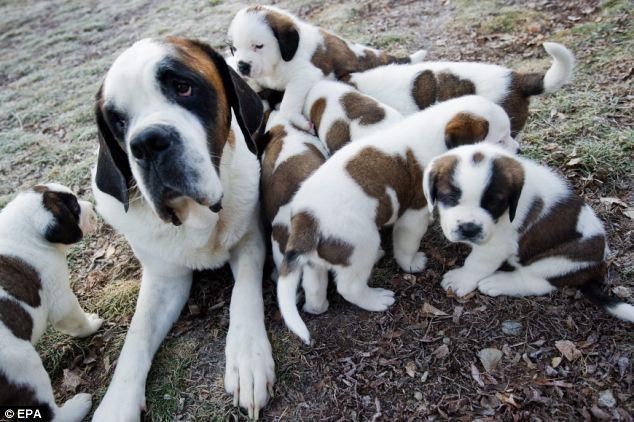 Rescue Soon Nine St Bernard Puppies