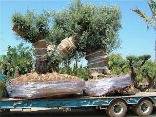 paradis express acheter un arbre centenaire. Black Bedroom Furniture Sets. Home Design Ideas