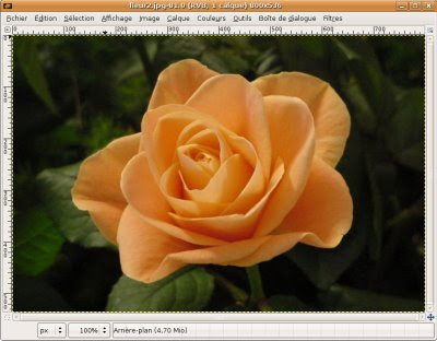 photo rose orange