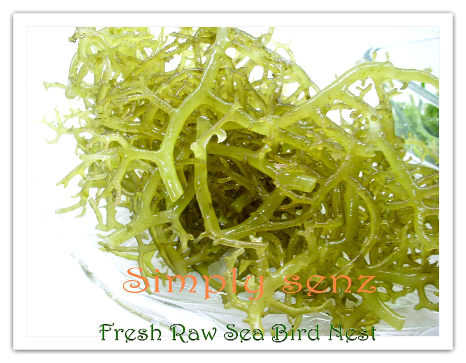 Most Common Seaweed In Rhode Island