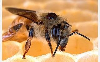 Pheromone Honey Bee Drone Pheromone | RM.