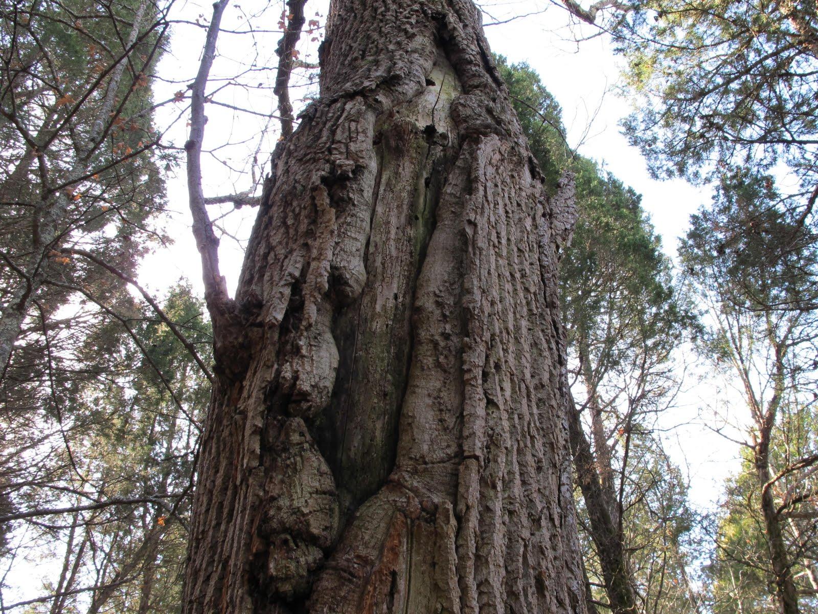 Blue Jay Barrens Lightning Tree