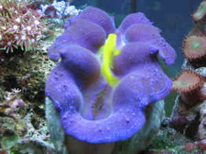 Giant Blue Reef Clams, Tridacnids, imported with disease