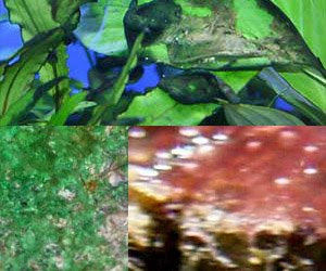 Red, Blue and Green Slime algae, Cyanobacteria