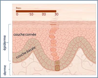 Lorsque nous regardons notre peau, nous n en voyons qu une infime partie    la couche cornée de l épiderme qui est le résultat du déplacement en 4 à 6  ... 37ad34b99f72