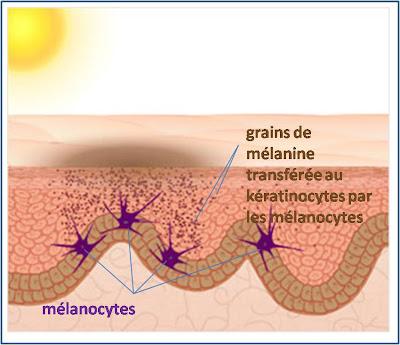 le pigment responsable de la couleur du bronzage est la mélanine le ...