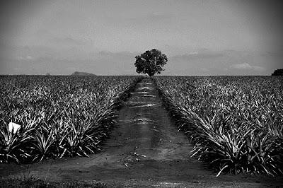 Plantação de ananás, Swazilândia, 2008
