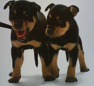 The Puppies Australian Kelpie Wallpaper