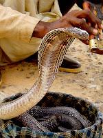 cobra aphrodisiac
