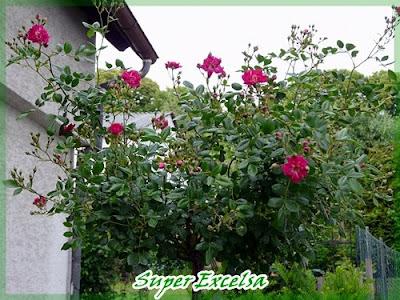 fuchsienrots garten blog rosen rosen rosen. Black Bedroom Furniture Sets. Home Design Ideas