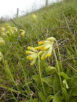 Cowslip Primula veris.  Indre et Loire, France. Photographed by Susan Walter. Tour the Loire Valley with a classic car and a private guide.