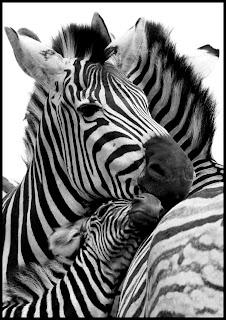 Funny Joke Image - Pondering Zebras