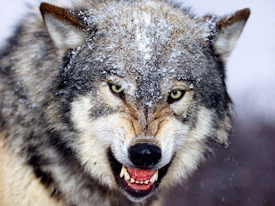Wolves behavior patterns - ThinkQuest