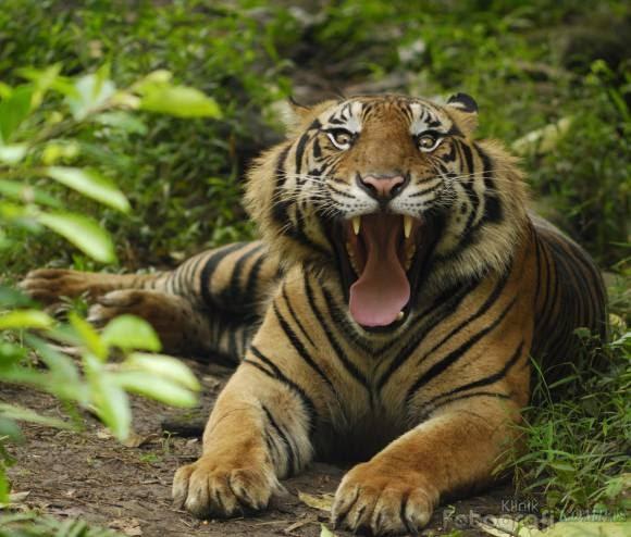 Foto Harimau Sumatera  Ocim Blog  Berita Terbaru dan Hiburan