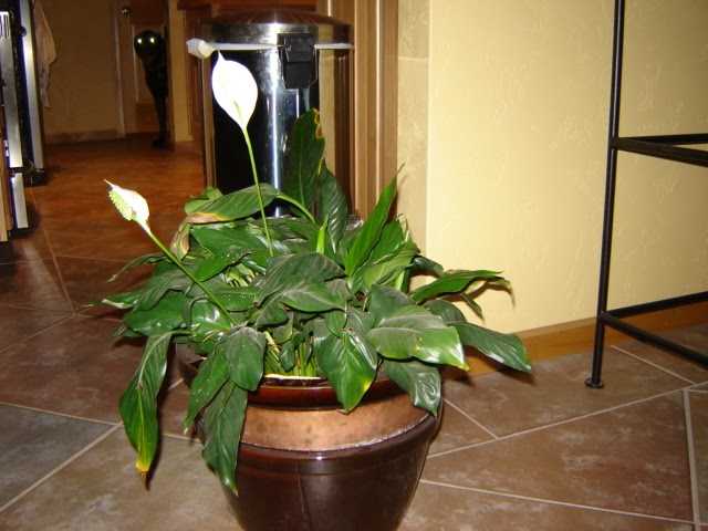 Houseplant Care Tips Peace Lily Care