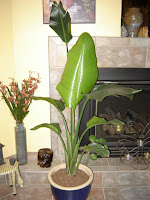 Bird Of Paradise Plant Care Houseplant Care Tips