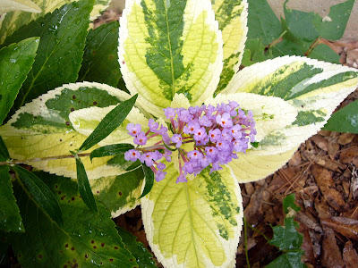 Diary Of A Garden Buddleja And Variegated Hydrangea