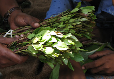 DaveGoesToAfrica: Khat Concerns Rise as Use in U S  Grows