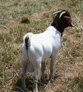 Fullblood Boer buck standing proud