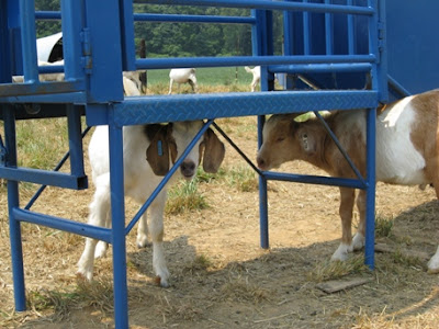 goats find shade under the work platform