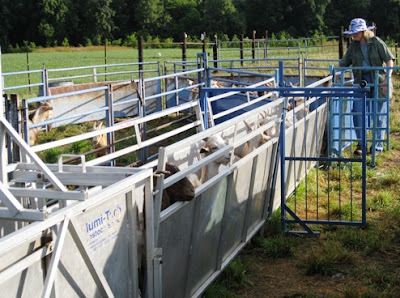 Mary Beth Bennett from West Virginia University works the goats in the handling system