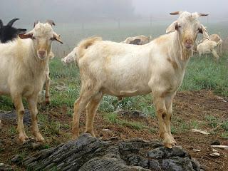 goats standing on rocks