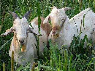 bucks grazing pearl millet
