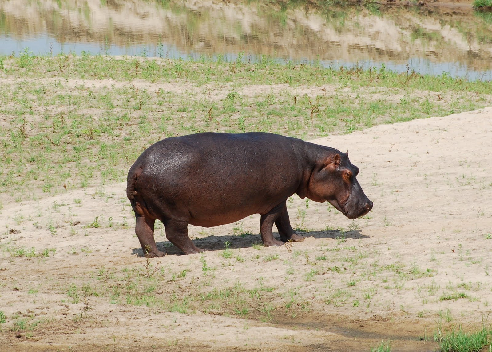 Lion Animal Wallpaper Wild Hippopotamus Wallpaper Wild Animal Walpaper