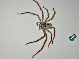 huge huntman spider