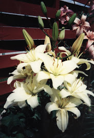 "Asiatic Lily ""Roma"""