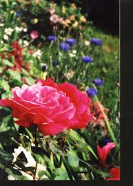 Winnipeg Parks Rose